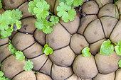 Pear-Shaped Puffball (Lycoperdon piriforme), France