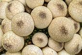 Common Puffball (Lycoperdon perlatum), France