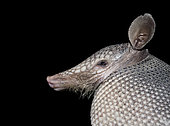 Armadillo nine banded (Dasypus novemcinctus), Central depression of Chiapas, Mexico.