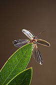 Extended winged firefly (Photinus pyralis), highlands of Chiapas, Mexico.