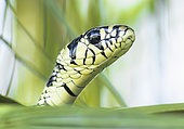 Portrait of tiger snake (Spilotes pullatus) in the Cañon del Sumidero National Park, Chiapas.Mexico.