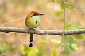 Cinnamon Momoto (Momotus mexicanus) bird perching on a branch, Cañon del Sumidero National Park, Chiapas, Mexico.