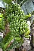 Cluster of bananas (Musa sp), Tenerife Island, Canarias Island