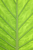 Alocasia (Alocasia odora) leaf, Canary Islands