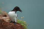 Razorbill (Alca torda) on cliff, Scotland