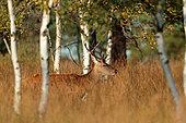 Red Deer (Cervus elaphus) male, Ardennes, Belgium