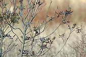 Bluethroat (Luscinia svecica) in a bush in early autumn, Plan de La Garde, Var, France