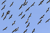 Common crane (Grus grus) Group in flight to land near a forest pond in autumn, Massif de la forêt de la Reine, near Toul, Lorraine, France