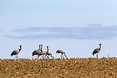 Common crane (Grus grus) Group in a corn field harvested in autumn, Surroundings of Toul, Lorraine, France
