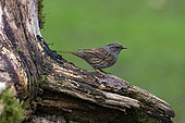 Dunnock (Prunella modularis) on an old stump in a country garden, Lorraine, France