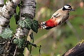 Great Spotted Woodpecker (Dendrocopos major) Female in flight in autumn in a country garden, Lorraine, France