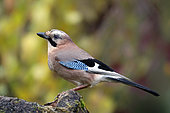 Eurasian Jay (Garrulus glandarius) on a stump in autumn in a country garden, Lorraine, France