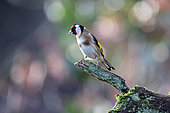 Goldfinch (Carduelis carduelis) on a branch of dead wood in winter in a country garden, Lorraine, France