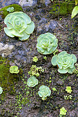 Aeonium (Aeonium diplocyclum) on wet cliff exposed to the northeast trade winds, Garajonay National Park, La Gomera, Canary Islands