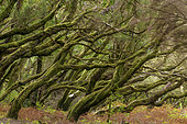 Tree heather, Garajonay National Park, La Gomera Island, Canary Islands. Environment designated in the Canaries by the term Fayal-brezal, dominated by Erica arborea, Erica platycodon and Ilex canariensis.