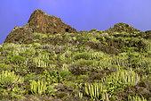 Canary island spurges (Euphorbia canariensis), La Gomera, Canary Islands