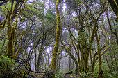 La Gomera Laurel forest, Garajonay National Park, Canary Island