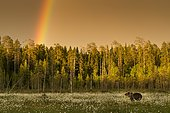 Brown Bear (Ursus arctos) with rainbow above forest, Suomussalmi, Karelia, Finland, Europe