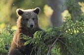 Young Brown Bear (Ursus arctos), Kainuu, Finland, Europe