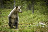 European brown bear (Ursus arctos arctos), young animal standing upright in the forest, Suomussalmi, Kainuu, Finland, Europe