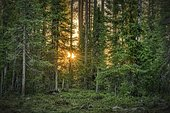Sun star shining through trees, coniferous forest, Suomussalmi, Kainuu, Finland, Europe