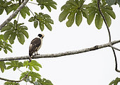 Laughing Falcon (Herpetotheres cachinnans) perched on tree inside the Montes Azules Biosphere Reserve, Chiapas Mexico.