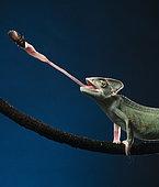 Yemen chameleon (Chamaeleo calyptratus) feeding on cockroach, studio shot.