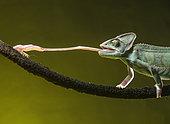 Yemen chameleon (Chamaeleo calyptratus) feeding on cricket, studio shot. Mexico.