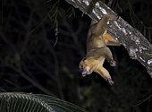 Kinkajou (Potos flavus) in its night behavior inside Montes Azules Biosphere Reserve, Chiapas Mexico.