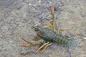 Narrow-clawed Turkish crayfish (Astacus leptodactylus)