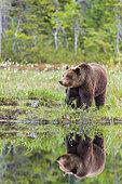 Brown bear (Ursus arctos arctos) female near a lake, Finland