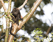 Juvenile howler monkey (Alouatta pigra) resting on a tree branch within the Montes Azules Biosphere Reserve, Chiapas Mexico.