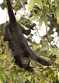Adult howler monkey (Alouatta pigra) hanging on a tree branch within the Montes Azules Biosphere Reserve, Chiapas Mexico.