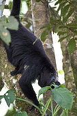 Adult howler monkey (Alouatta pigra) eating green leaves on a tree branch within the Montes Azules Biosphere Reserve, Chiapas Mexico.