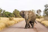 Eléphant d'Afrique (Loxodonta africana) bloquant une piste, Parc national Kruger, Afrique du Sud