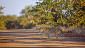 Leopard (Panthera pardus) crossing safari gravel road in Kruger National park, South Africa