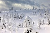 Snow covered mountain pines in a winter storm in Rukatunturi, Kuusamo, Lapland, Finland, Europe