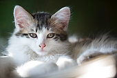 Portrait of a gray and white kitten resting in a ray of light, Haut Rhin, France