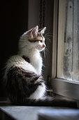 Gray and white kitten sitting near a window, Haut Rhin, France