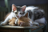 Two sleeping kittens on a chair in the sun, Haut Rhin, France
