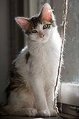 Gray and white cat sitting near a window, Haut Rhin, France
