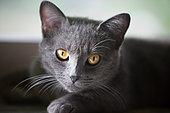 Chartreux type gray adult cat resting near a window, Haut Rhin, France