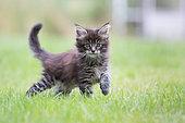Maine Coon kitten walking in a lawn, Haut Rhin, France