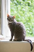 Tabby gray cat sitting near an open window, Haut Rhin, France