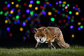 Red fox (Vulpes vulpes) walking in a meadow near Christmas lights