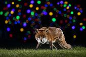 Renard roux (Vulpes vulpes) marchant dans un pré devant des lumières de Noël
