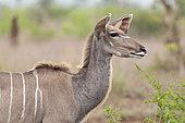 Greater Kudu (Tragelaphus strepsiceros), adult female close-up, Mpumalanga, South Africa