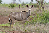 Greater Kudu (Tragelaphus strepsiceros), , Mpumalanga, South Africa