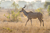Greater Kudu (Tragelaphus strepsiceros), side view of a male walking in the savannah, Mpumalanga, South Africa