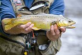 Fly fishing on the Weiss, Presentation of a fario trout (Salmo trutta fario), Kaysersberg, Haut-Rhin, Alsace, France
